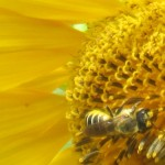 Pesticides, Honeybees, and Political Influence